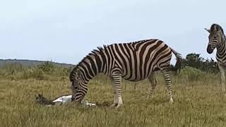 Too brave! powerful hero buffalo come to rescue poor zebra escape lions #1