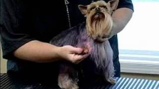 How To Groom & Color Dog Fur : How To Color Yorkshire Terrier Fur