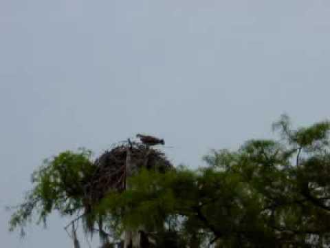 osprey on the chowan 1