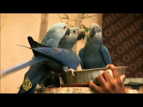 Spix Macaw on brink of extinction