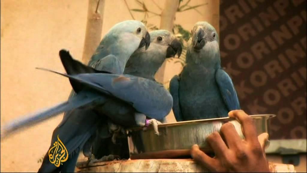 am billigsten 2019 am besten verkaufen heiß-verkauf freiheit Spix Macaw on brink of extinction
