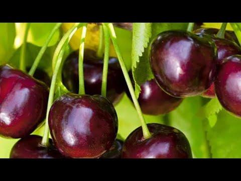 Как посадить черешню в средней полосе России
