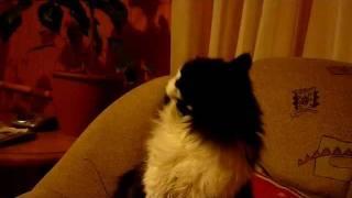 Прикол... Кошка и длинная шерсть..