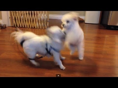 dog-fight!---bebexo's-chihuahua-(baby)-vs-pekoe-the-poodle