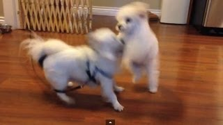 Dog Fight! - Bebexo's Chihuahua (baby) Vs Pekoe The Poodle