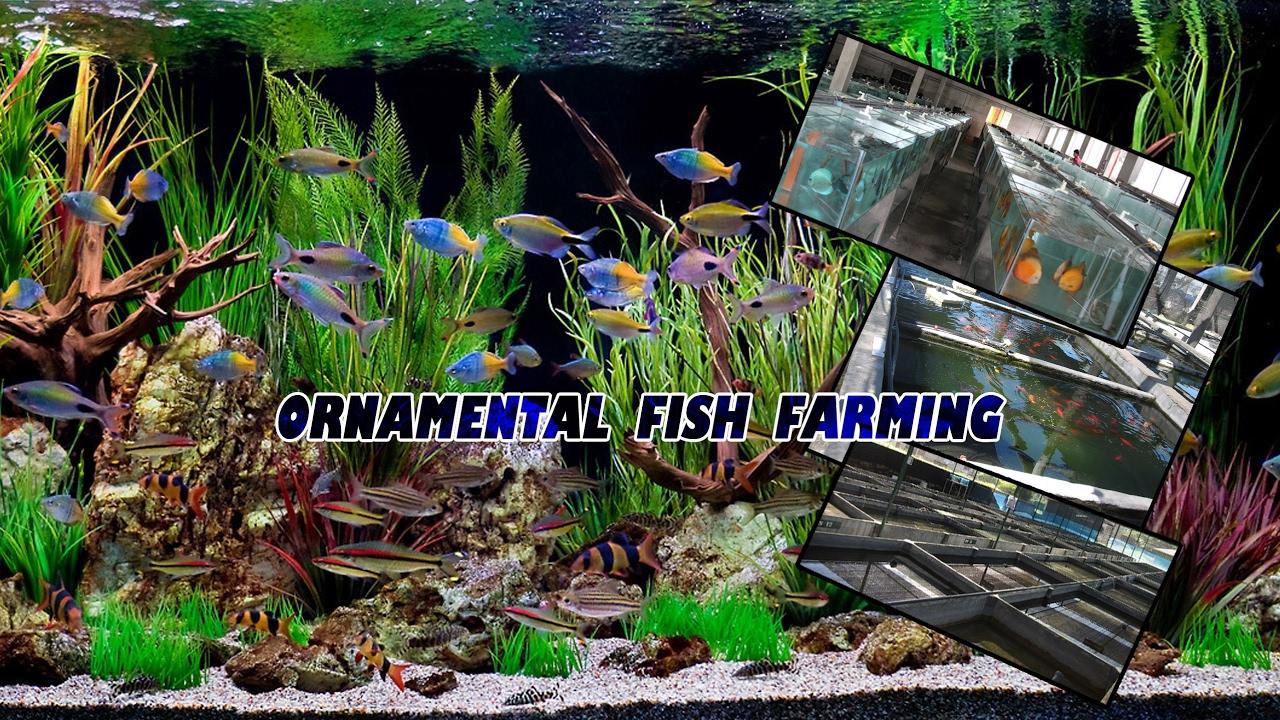 Ornamental Fish Farming Live Stream Youtube