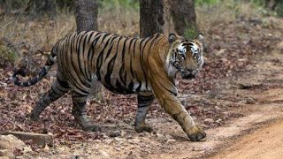 A documentary on Dampa Tiger Reserve Mizoram