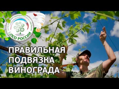 Подвязка, чеканка, формирование винограда. Уход за виноградом летом.