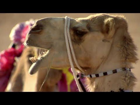 Bitten By Camel - Ben & James Versus The Arabian Desert - BBC