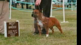 Redline Staffords Am/can Grand Champion Trugrip One Singular Sensation Staffordshire Bull Terrier