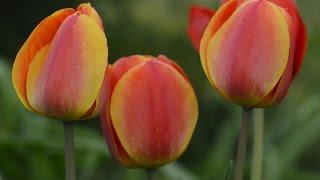 видео Тюльпаны: посадка и уход в открытом грунте, как выращивать