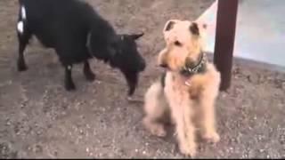 Козел пристает к собаке.