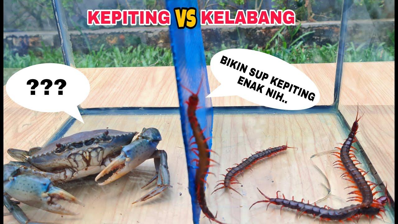 EKSPERIMEN: KEPITING vs KELABANG [BATTLE]