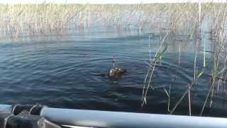 Рыбалка на карася в камышах, видео под водой  Fishing for carp in the reeds, video underwater(Самых крупных карасей можно поймать в камышах, вот об этом и будет это видео. Интересно они еще и тем что..., 2013-12-09T16:01:43.000Z)