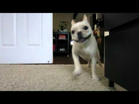 French Bulldog POPCORN has the Zoomies