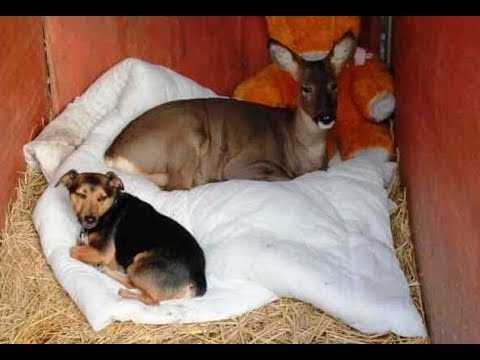 Thumbnail: Adorable Deer Raised With Dogs Thinks He's Just Another One Of The Pack