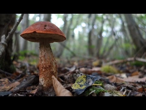 Orange capped boletes (Leccinum versipelle and...