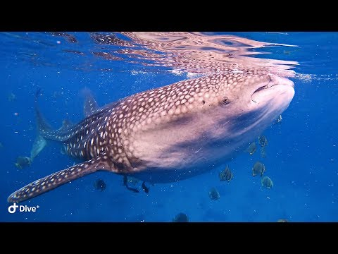 Whale Sharks. Philippines