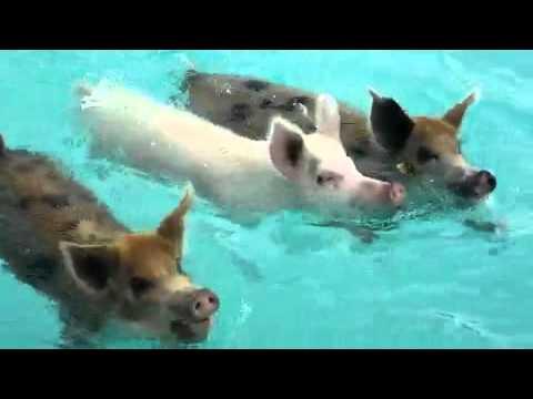BEAUTIFUL SWIMMING PIGS, BAHAMAS