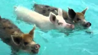 Repeat youtube video BEAUTIFUL SWIMMING PIGS, BAHAMAS