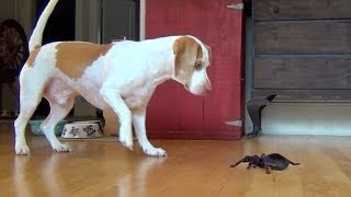 Dog vs. Robot Spider: Cute Dog Maymo