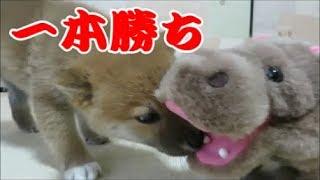 カバ VS 柴犬の柔道対決。まめはカバの牙や顎を攻撃。見事な一本勝ちを...