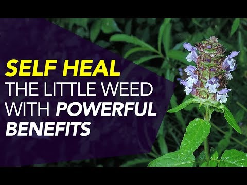 Self Heal —The Little Weed With POWERFUL Benefits