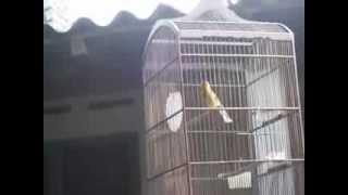 kicauan burung kenari terbaik 1