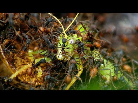 Thumbnail: Army Ants Rampage Through The Forest - The Hunt - BBC Earth