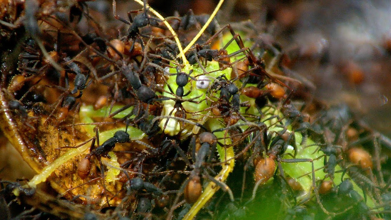 Army Ants Rampage Through The Jungle  - BBC Hunt - BBC Earth