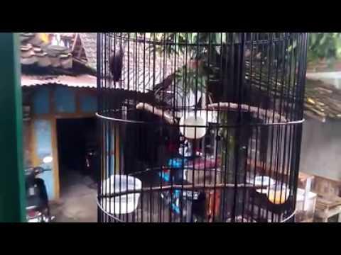Kolibri Ninja Gacor Ngobra