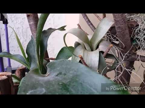 Вопрос: Как вырастить папоротник Олений рог?