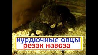 Особенности курдючных овец.Окот//Сельское подворье на Урале//