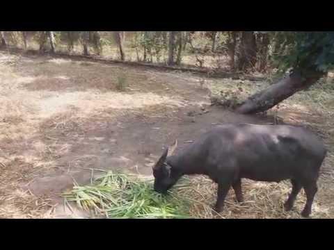 It's More Fun in the Philippines - Tamaraw Gene Pool Farm Occidental Mindoro