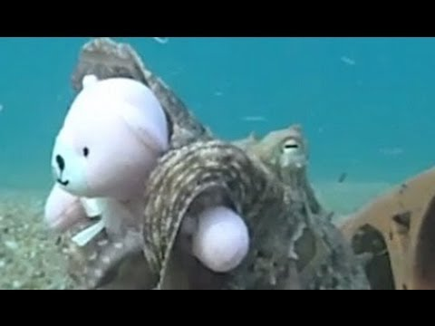 Thumbnail: Octopus Fell In Love With Teddy!