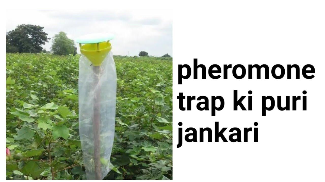 फेरोमोन ट्रैप का फसलों में इस्तेमाल