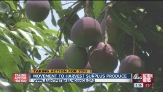 Volunteers with Saint Pete Abundance are gleaning urban fruit trees to help needy