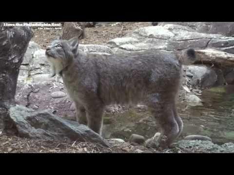 Philadelphia Zoo Canada Lynx Jumps Up Slow Motion