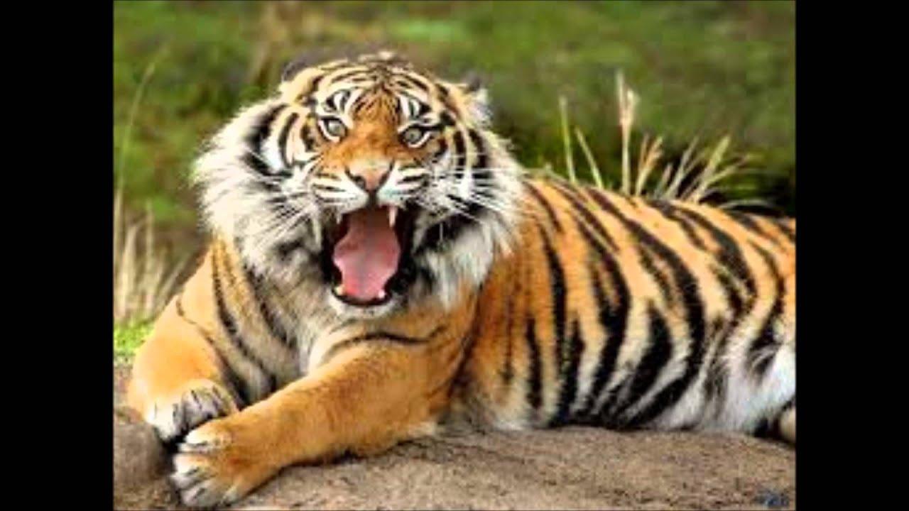 En Peligro De Extinción: Tigres En Peligro De Extinción