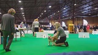 АНГЛИЙСКИЙ БУЛЬДОГ, выставка собак ZooExpo. BULLDOG. Baltic Winner 2016 CACIB Dog Show