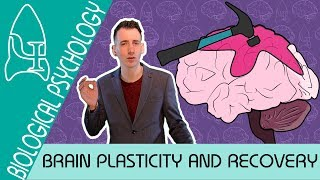 Brain Plasticity and Functional Recovery - Biological Psychology [AQA ALevel]