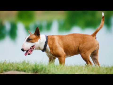 Bull Terrier Information