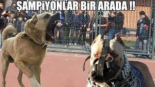 ŞAMPİYONLAR BİR ARADA !! ( Kangal, Pitbull, Rottweiler, Bully ) Power Dog, Strongest dog, Best video