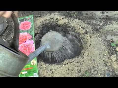 Учимся сажать плетистую  вьющуюся РОЗУ. Рекомендации по посадке розы!