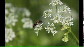 Фото цветов. Жасмин, пион, сныть обыкновенная, папоротник, лилия, василек. (4k UHD)