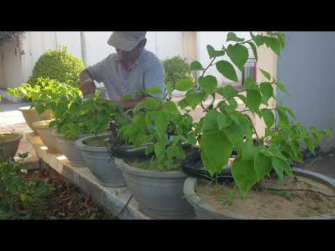Tạo dáng cho cây hoa giấy bonsai