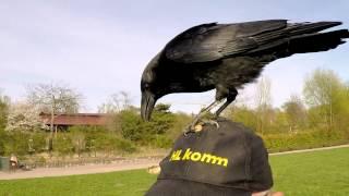Warum Rabenväter einen Dickschädel brauchen / Why raven fathers need a thick skull