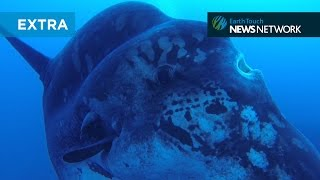 Divers dwarfed by enormous sunfish