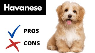 Havanese Pros And Cons | The Good AND The Bad!!