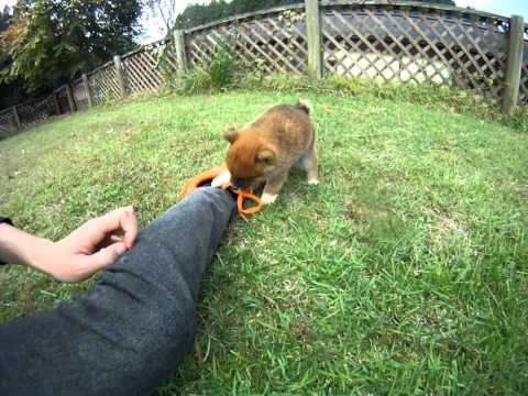 Japanese dog 'SHIBA Puppy'
